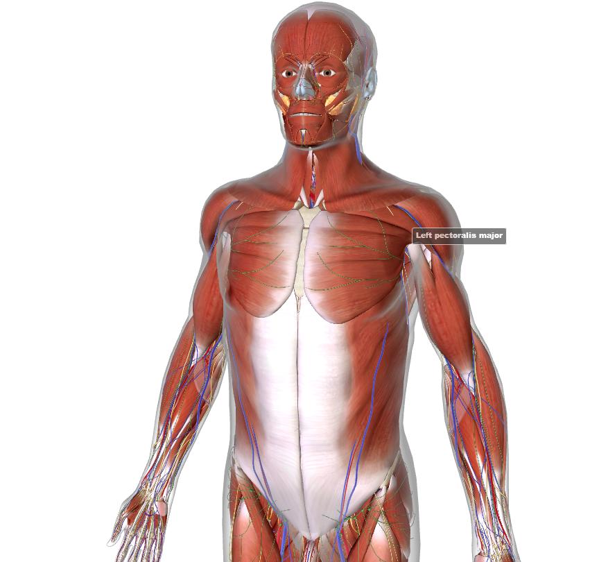 naise anatoomia
